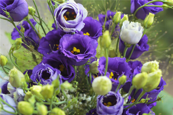 Wide Color Range Makes It Superior To All Accent Flowers In Season October