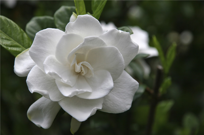 15 flowers in season in december for wedding everafterguide the flower petals are clustered and mostly found in white color ideal for wedding bouquet with strong sweet scent mightylinksfo