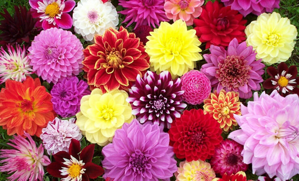 21 most sun kissed flowers in season for july wedding everafterguide dahlias mightylinksfo